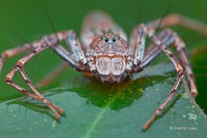 Angry Lynx Spider by melvynyeo