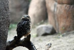 Little Owl by The-Other-Half-Of-Me