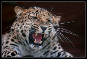 Leopard IV by Lilia73