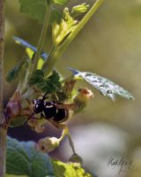 Black Wasp and  Blackcurrant flowers by madlynx