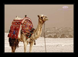 camel by alfaraj9