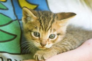 Stock Animal - Kitten 1 by Carol-Moore
