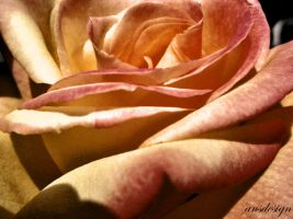 Rose petals... by ansdesign
