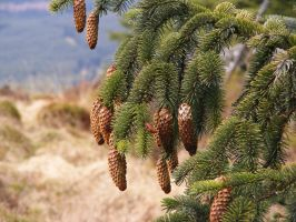 Pinecones 01 by Axy-stock