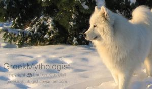 Samoyed Snow by GreekMythologist
