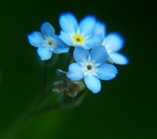 Forget-me-not. by Amelie1994