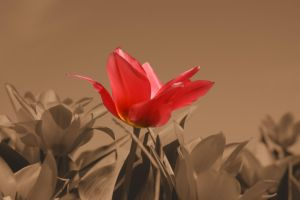 Tulip 6 by picture-melanie