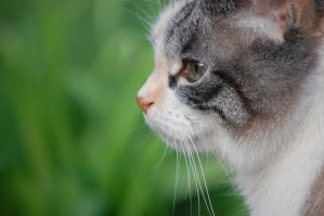 cat focus close up by Silverkey101
