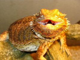 Claire Bearded Dragon Perch 003 by thebizzeebee
