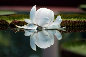 Lilly of the Water by julesthomas