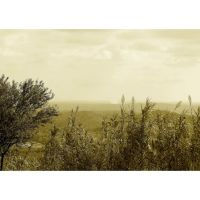 olive tree and reeds by 13-septembre