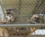 Young Raccoons 13a by Windthin