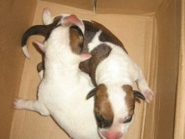 Baby pitbulls Pt. 2 by blazeinfamous