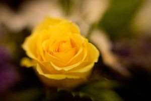 Yellow Rose Lensbaby I by LDFranklin