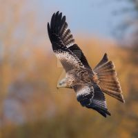 The colours of Autumn - red kite by Jamie-MacArthur