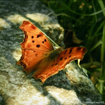 Butterfly by Persephone842