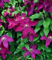 Clematis by Forestina-Fotos