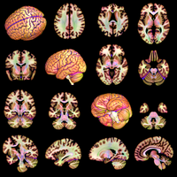 color averaged brain sections by markdow