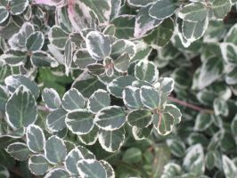 Euonymus Wintercreeper by crazygardener