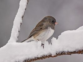 Junco in the Snow by papatheo