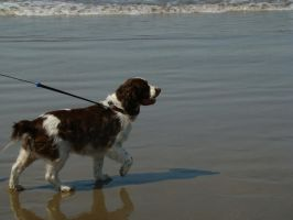 Springer Spaniel by Stoked-Stock