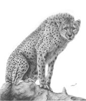 Cheetah (Acinonyx jubatus) by daniluc78