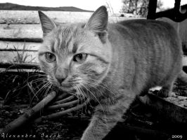 BW Nice cat by AlexBlood