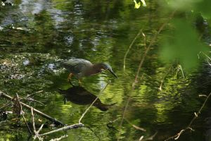 GREEN HERON II by zraclooc