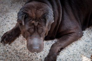 Our Dog a Sharpei by archaznable30