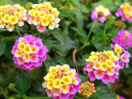 Pink Yellow and Green by mhmalali