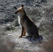 Fox by AndreaP95