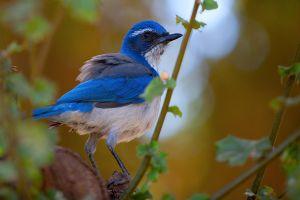 Scrub Jay by secondclaw