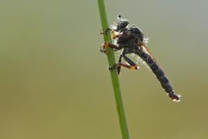 Robberfly with dew by andabata