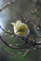 Silvereye by Creative-Addict
