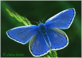 Common blue butterfly by lukias-saikul