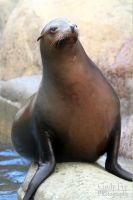Sea Lion by lost-nomad07