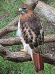 Red Tailed Hawk in Florida by Cryostar1177