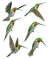 Humming Birds-2 PNG Stock by Roys-Art