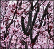 Cherry Blossoms by mastercylinder