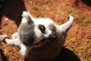 Ring Tailed Lemur by AlmightyGingerOne
