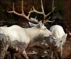 Majestic White Elks by SilkenWinds