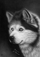 Alaskan malamute drawing by titol87