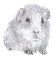 Guinea Pig by 07coc