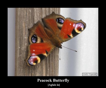Peacock 2 by SWD-Tigercat