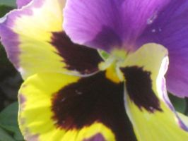 21438 Pansy by crazygardener