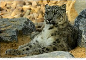 Laidback Snow Leopard by In-the-picture