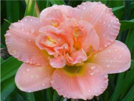 double pink daylily by damndansdawg