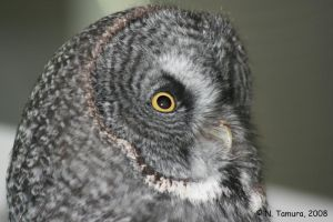 Great Gray Owl by NTamura