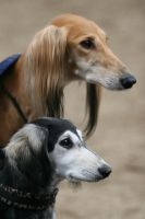 Saluki, big and small by SaNNaS
