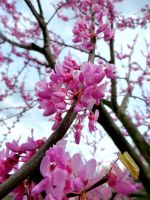 Purple Redbud by tracy-Me